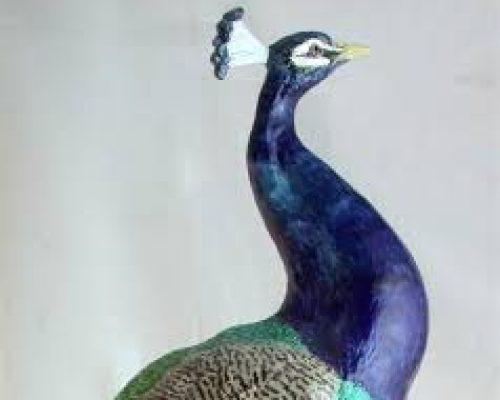 Lochard Peacock