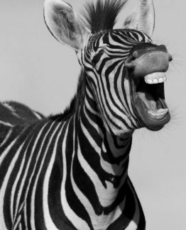 laugh - zebra BW
